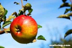 Massachusetts Apple Orchards and Apple Growers